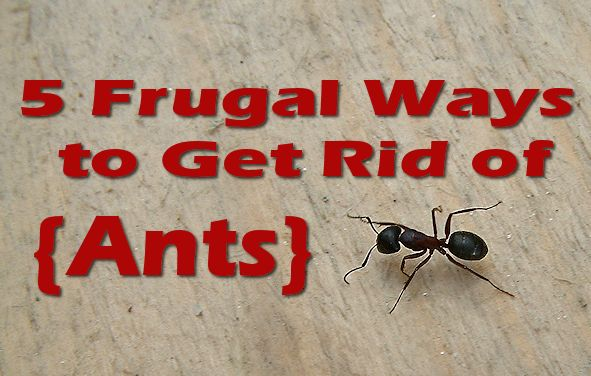 5 Frugal Ways To Get Rid Of Ants