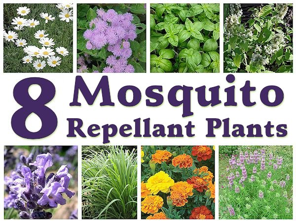 8 Mosquito Repellent Plants | Mother's Home